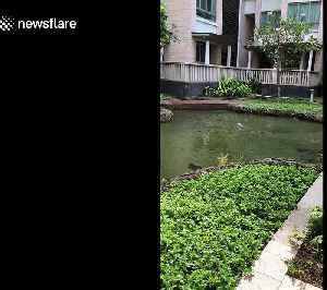 British woman amazed by two otters swimming in her apartment's pool [Video]