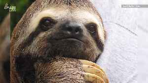 Sloths Have a Metabolism Unlike Any Other Animal, Study Finds [Video]