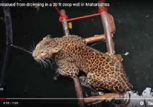 Leopard Saved From Drowning After Falling Into Well [Video]