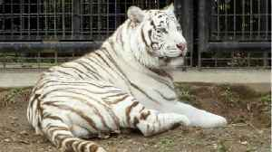White Tiger Mauls Zookeeper To Death [Video]