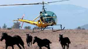 California Is Rounding Up Hundreds Of Wild Horses [Video]