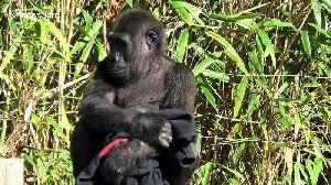 What a fashionista! This gorilla loves her new jumper [Video]