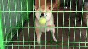 Clueless dog tries to catch ball from behind cage [Video]