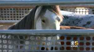 Feds Start Controversial Wild Horse Roundup in Modoc County [Video]