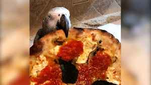 Ravenous parrot really loves eating pizza! [Video]