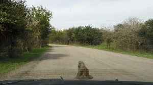 Self-assured baboon takes a seat and holds up traffic [Video]