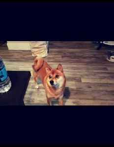 Shiba Inu literally dances for water bottle [Video]
