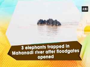 3 elephants trapped in Mahanadi river after floodgates opened [Video]