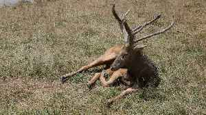 Milu deer fighting its way out of extinction [Video]