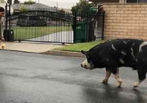 Follow the Tortilla Chip Road: Cop Uses Doritos to Lure Rogue Pig Back Home [Video]