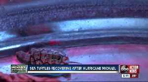 Nearly 100 baby turtles rescued after getting caught in seaweed mass after hurricane [Video]