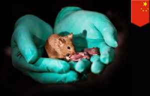Healthy mice made from same-sex parents for the first time [Video]