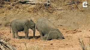 Thirsty elephant digs for water during dry season in South Africa [Video]