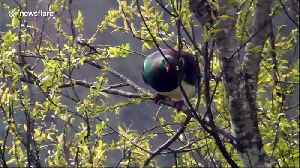 Wild New Zealand wood pigeon is drunk on forest berries [Video]