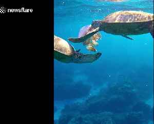 Turtles chow down on large jellyfish [Video]
