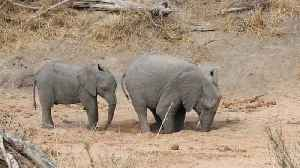 Thirsty elephant digs for water during dry season in South Africa� [Video]