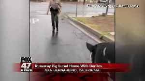 California sheriff's deputy lures giant pig back to home with Doritos [Video]