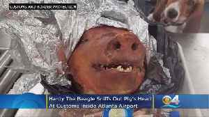 Roasted Pig Head Sniffed Out By Customs Beagle At Airport [Video]