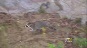 Rabid Racoon That Attacked 3 People Caught, Euthanized [Video]