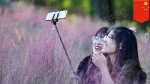 Chinese tourists destroy sea of rare pink grass to take selfies [Video]