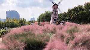 Selfie-mad tourists in China destroy rare pink grass field [Video]