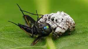 Rainforest jumping spider feasts on long-legged fly [Video]