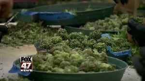 Report: Legalized recreational pot could bring in $262M in new tax revenue by 2023 [Video]