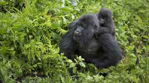 Male Gorillas that Spend Time With Infants Father More Offspring [Video]
