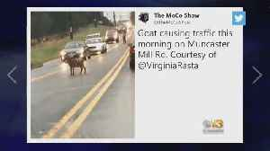 Goat Causes Traffic Delays [Video]