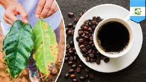 Latin American coffee supply threatened by fungus outbreak [Video]