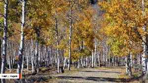 Pando, One Of The Largest Organisms In The World, Is Collapsing [Video]