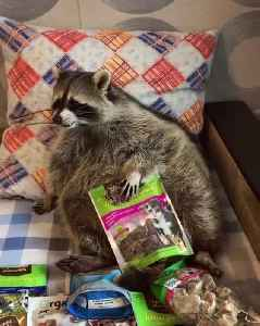 smart raccoon found all my cookies and eating them [Video]