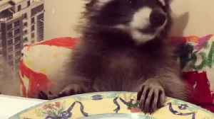 smart house raccoon sitting on table and eat Pomegranate and grabs [Video]
