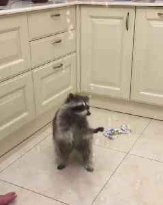 raccoon run after some bubbles in my room [Video]