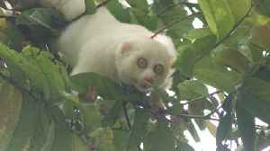 First Known Albino Slow Loris Released Back Into the Wild [Video]