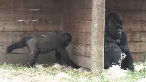 Cheeky gorilla baby loves to wind up his dad [Video]