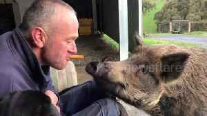 Teasing Bruce the pig with a tasty carrot [Video]