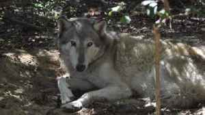 Wolf preserve offers reward for wolf who escaped during Hurricane Michael [Video]