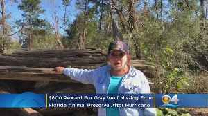 Reward Offered For Escaped Wolf In Hurricane-Affected Panhandle [Video]