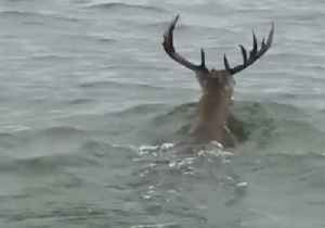 'Giant Deer' Spotted Swimming in Lake Texoma [Video]