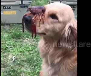 Golden Retriever balances crawfish on his nose [Video]