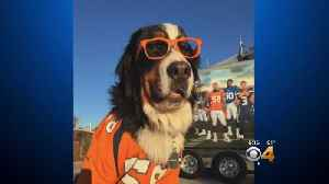 Parker The Snow Dog Helps Broncos Fan See Game In Person [Video]