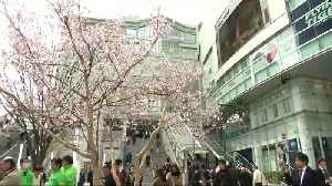 Japan's cherry blossoms are confused by typhoons [Video]
