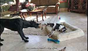 11-week-old Great Dane puppy loves to play tug-of-war [Video]