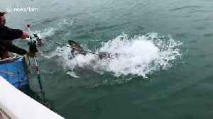 Bait handler enters into vicious tug-of-war with great white shark [Video]