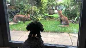 Adorable dog has 'standoff' through window with three young foxes [Video]