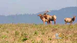 Lawmaker Looks for Point Reyes Tule Elk Grazing Compromise
