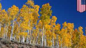Pando, world's largest organism, is in danger of collapsing [Video]