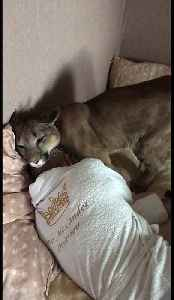 Domesticated cougar gently tries to wake up owner [Video]