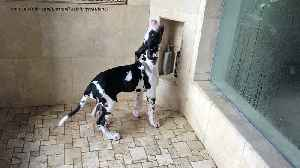 Great Dane puppy plays in the shower [Video]